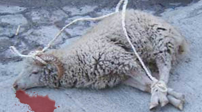 """Rakousko: Syrský vetřelec používal svázané ovce coby """"sáňky"""""""