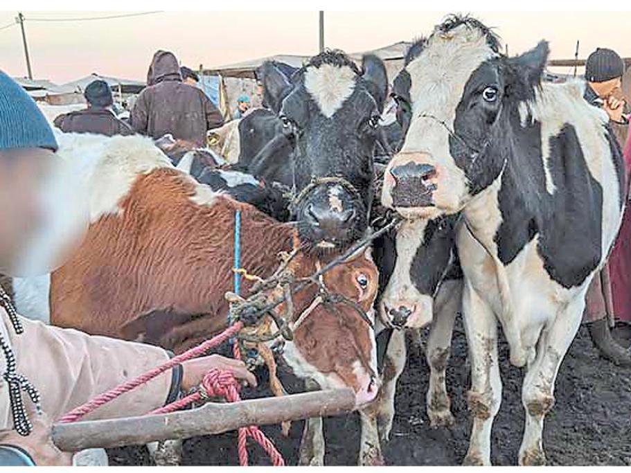 Německo schvaluje halal porážky březích krav