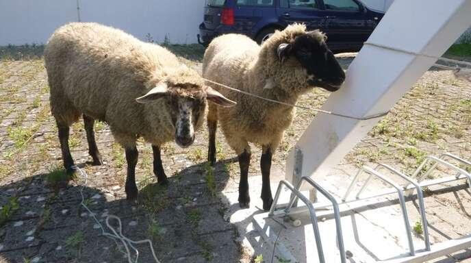 Německo: Před azylovým domem našli dvě ovce, uvázané u stojanu na kola